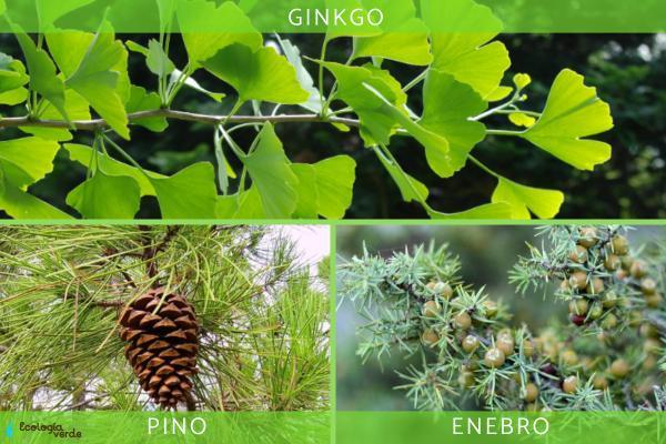 Diferencia entre angiospermas y gimnospermas - Ejemplos de plantas gimnospermas