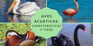 Aves acuáticas: características, tipos y nombres