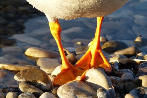 Aves acuáticas: características, tipos y nombres - Características de las aves acuáticas