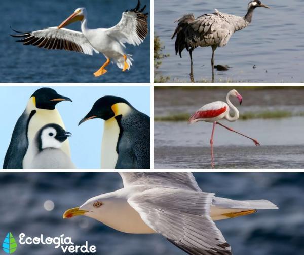 Aves acuáticas: características, tipos y nombres - Nombres de aves acuáticas - ejemplos con fotos