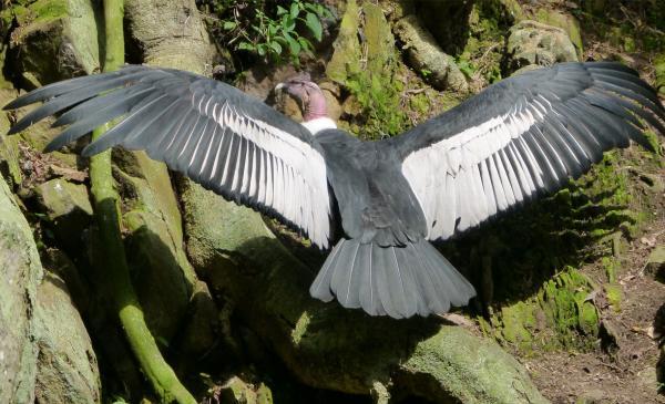 23 especies endémicas de Colombia - Cóndor de los Andes (Vultur gryphus)
