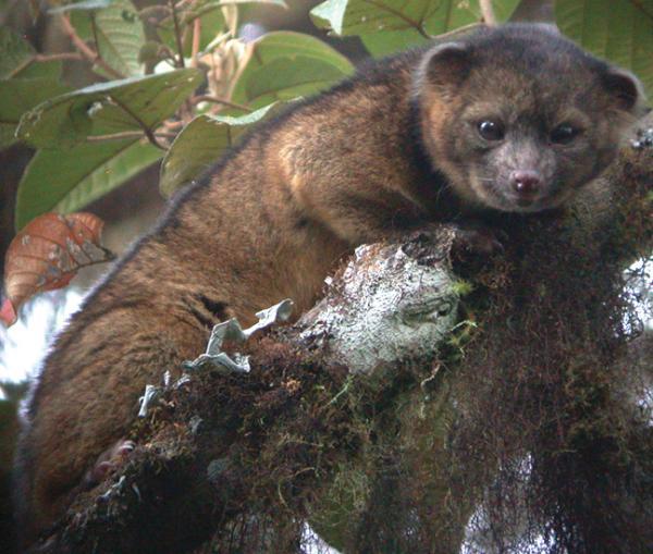 23 especies endémicas de Colombia - Olinguito (Bassaricyon neblina)