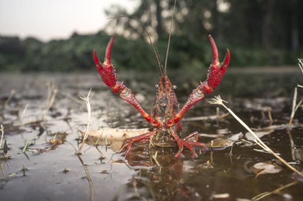 Cuáles son los factores que afectan a la biodiversidad - Introducción de especies invasoras