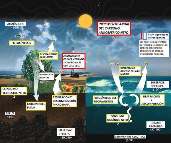 Ciclos biogeoquímicos: qué son, tipos e importancia - Ciclo del carbono