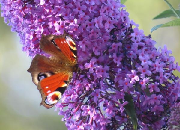 Plantas invasoras: qué son y ejemplos de especies - Plantas invasoras: ejemplos de especies