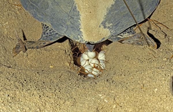 Cuántos huevos ponen las tortugas marinas - Cuántos huevos pueden poner las tortugas marinas