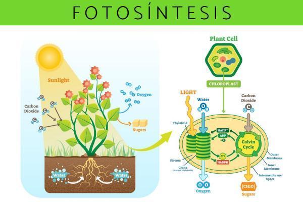 Funciones del agua en los seres vivos - Función bioquímica