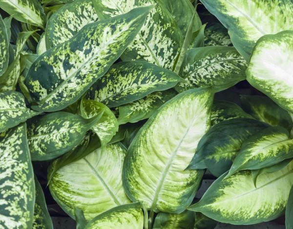 Planta dieffenbachia: cuidados