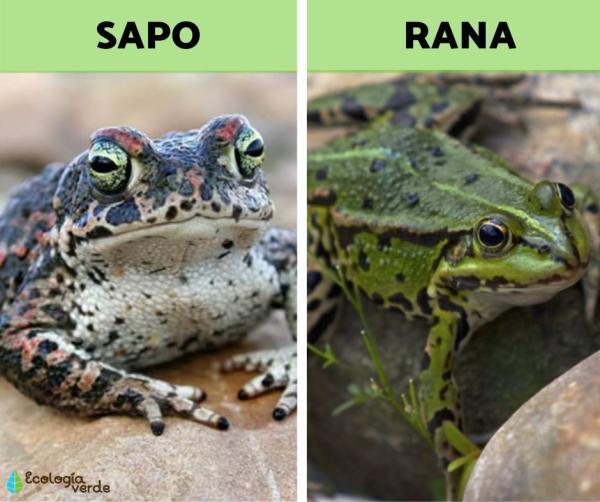 Diferencia entre sapo y rana - Diferencia entre sapo y rana