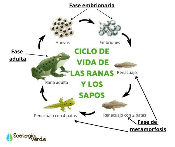 Diferencia entre sapo y rana - Semejanzas entre sapo y rana