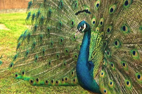 Aves de corral: tipos y ejemplos - Qué son las aves de corral y sus características