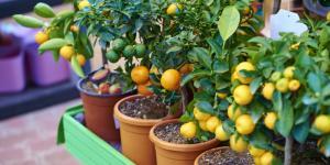 Árboles frutales en maceta: cómo cultivarlos