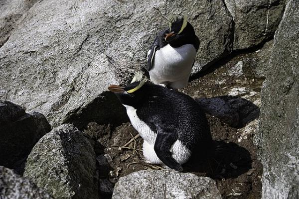 Pingüinos en peligro de extinción - Pingüino de Antípodas
