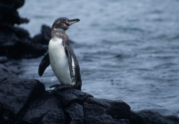 Pingüinos en peligro de extinción - Pingüino de Galápagos