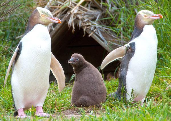 Pingüinos en peligro de extinción - Pingüino de ojo amarillo