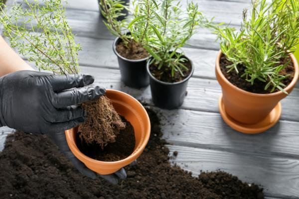Cómo plantar tomillo - Cómo plantar tomillo en maceta