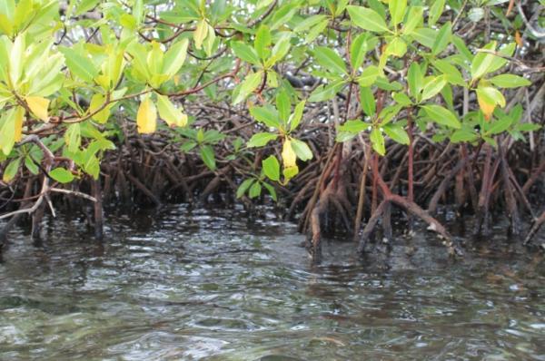 Qué es un manglar y sus características - Por qué son importantes los manglares
