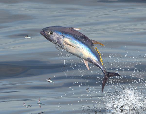 33 peces en peligro de extinción - Atún rojo (Thunnus thynnus)