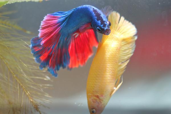 33 peces en peligro de extinción - Pez betta (Betta splendens)