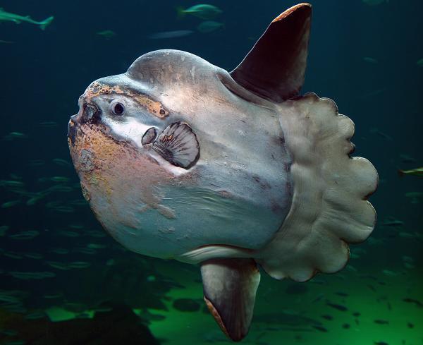33 peces en peligro de extinción - Pez luna (Mola mola)