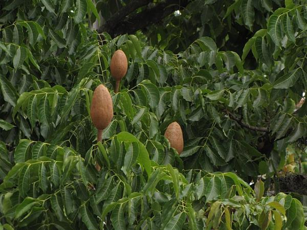 Plantas en peligro de extinción en el Perú - Caoba (Swietenia macrophylla)