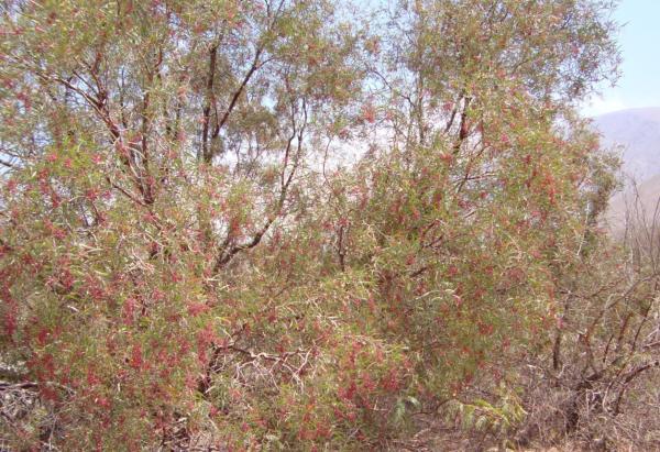 Plantas en peligro de extinción en el Perú - Carzo (Haplorhus peruviana)