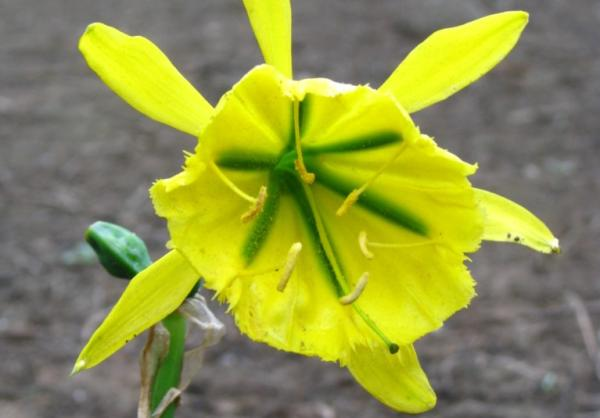 Plantas en peligro de extinción en el Perú - Flor de Amancaes (Ismene amancaes)
