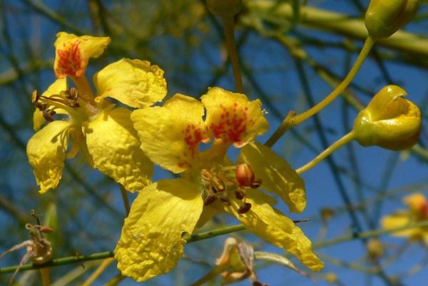 Plantas en peligro de extinción en el Perú - Goma de canaquil (Parkinsonia peruviana)