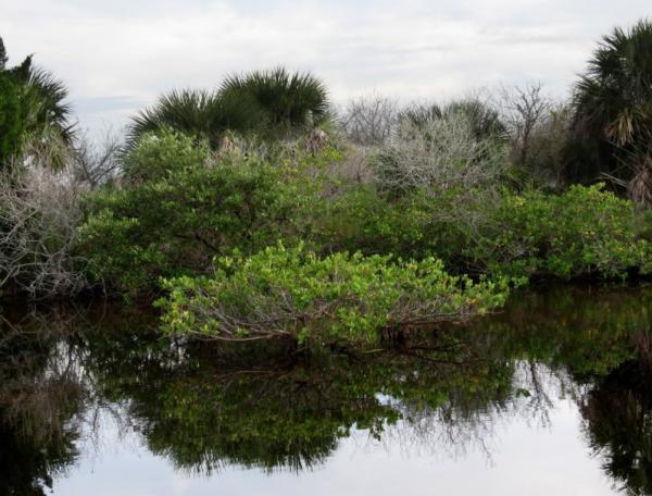 Plantas en peligro de extinción en el Perú - Mangle blanco (Laguncularia racemosa)