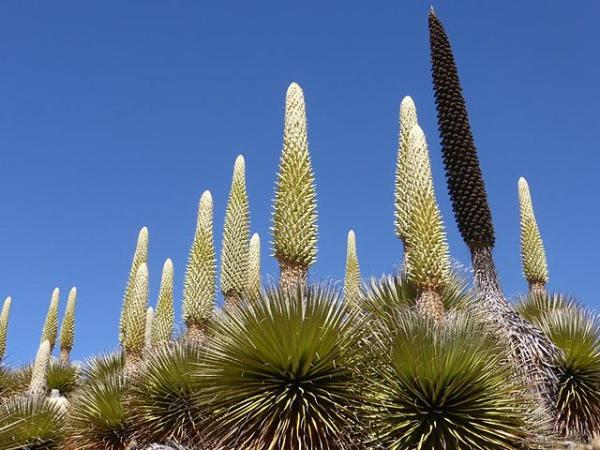 Plantas en peligro de extinción en el Perú - Puya (Puya Raimondii)