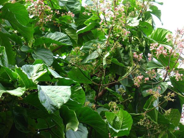Plantas en peligro de extinción en el Perú - Quina (Cinchona officinalis)