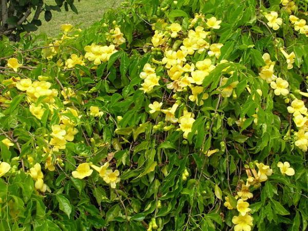 Plantas en peligro de extinción en el Perú - Uña de gato (Uncaria tomentosa)