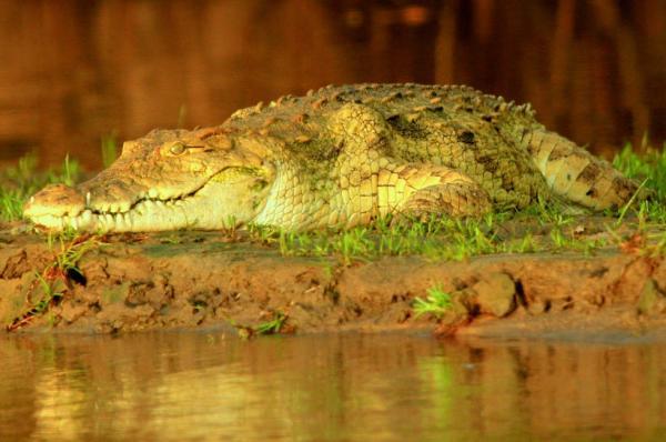 Hábitat del cocodrilo: ¿dónde vive?