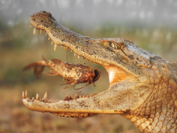 Hábitat del cocodrilo: ¿dónde vive? - Qué comen los cocodrilos