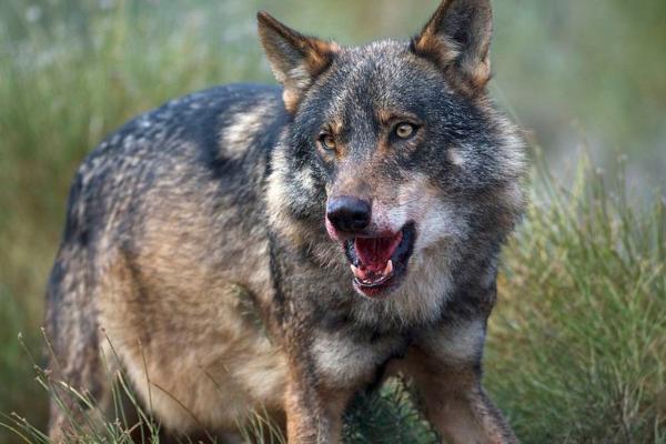 Ejemplos de especies endémicas de España - Lobo ibérico (Canis lupus signatus)