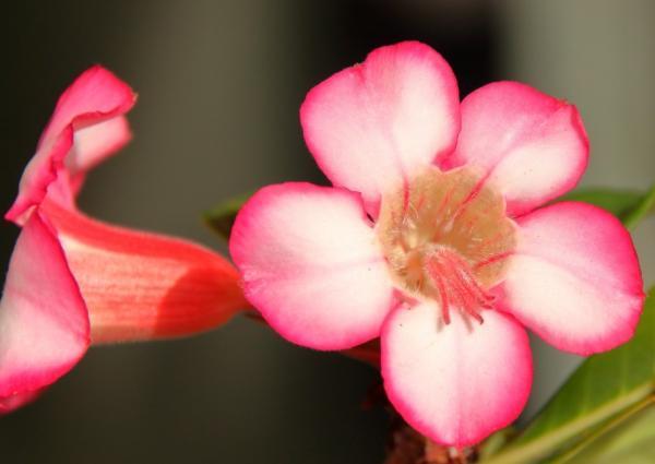 Rosa del desierto: cuidados - Clima de la rosa del desierto