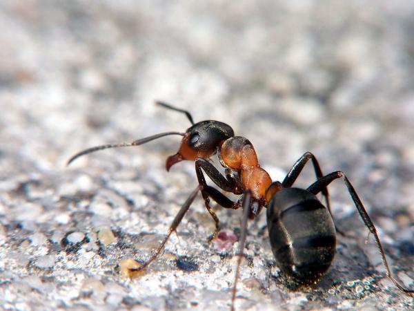 Insectos que pican - Hormiga roja