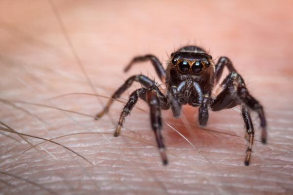 Insectos que pican - Picaduras de arácnidos