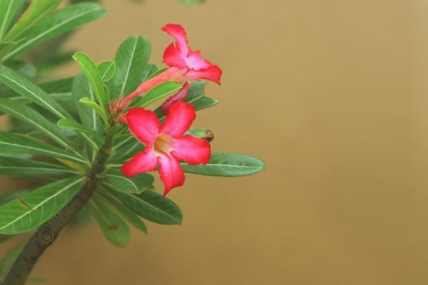 Rosa del desierto: cuidados - Rosa del desierto: características