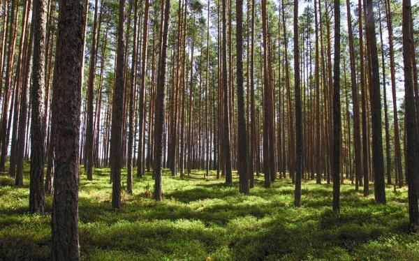 Bosques de coníferas: características, flora y fauna - Dónde se encuentran los bosques de coníferas