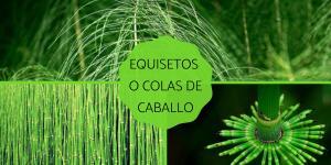Equisetos: qué son, características y ejemplos