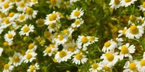 Planta de manzanilla: cuidados y para qué sirve