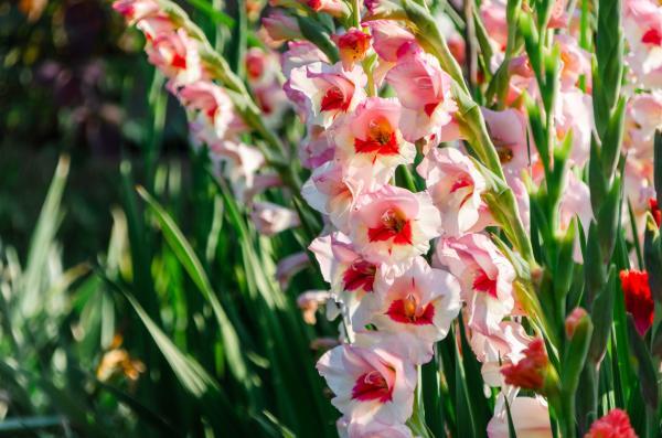 Bulbos de verano - Gladiolo