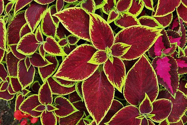 Cuidados del cóleo - Características de la planta cóleo o cretona