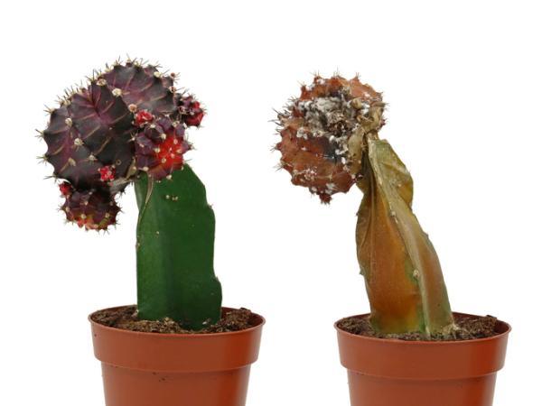 Revivir un cactus: cómo hacerlo - Cómo revivir un cactus seco - consejos