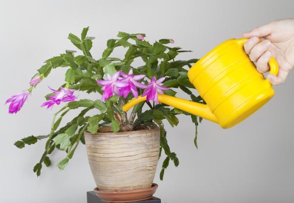Cómo cuidar un cactus de Navidad - Frecuencia de riego del cactus navideño