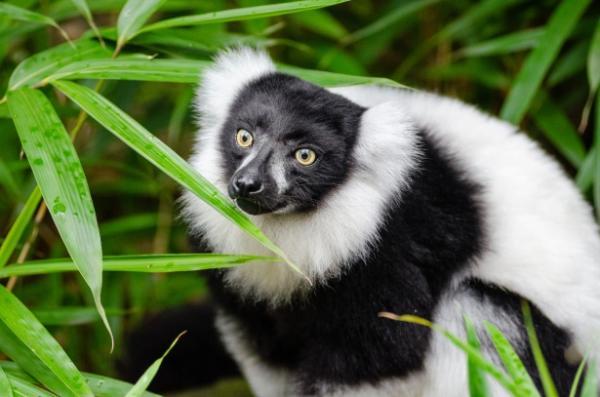 Animales endémicos de Madagascar - Indri