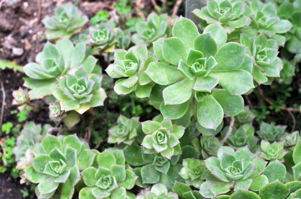 20 plantas extintas - Aeonium mascaense