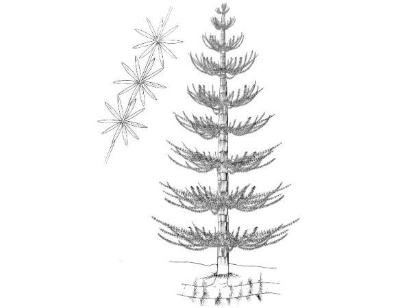 +20 plantas extintas - Calamites