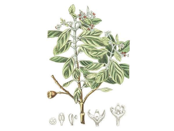 +20 plantas extintas - Olivo de Santa Elena o Nesiota